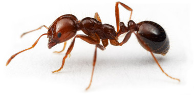 Fire Ant image